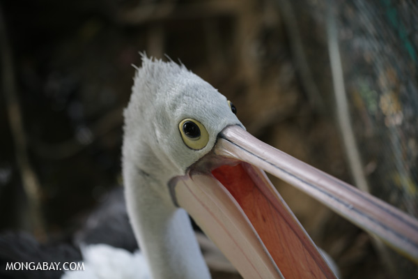 Australian pelican [australia_fnq_0729]