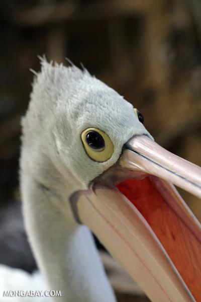 Australian pelican [australia_fnq_0730]