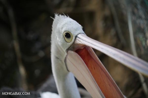 Australian pelican [australia_fnq_0731]