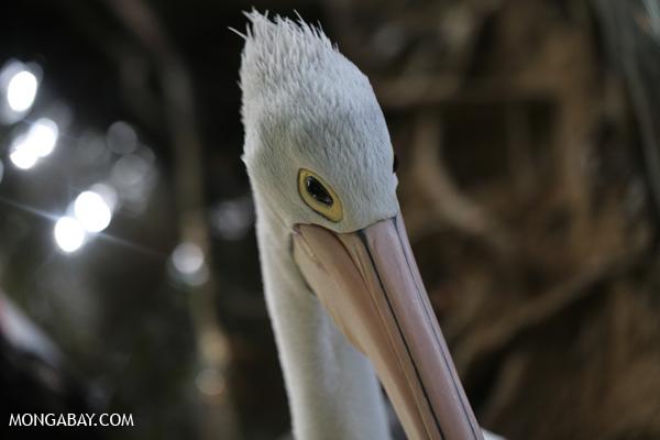 Australian pelican [australia_fnq_0737]