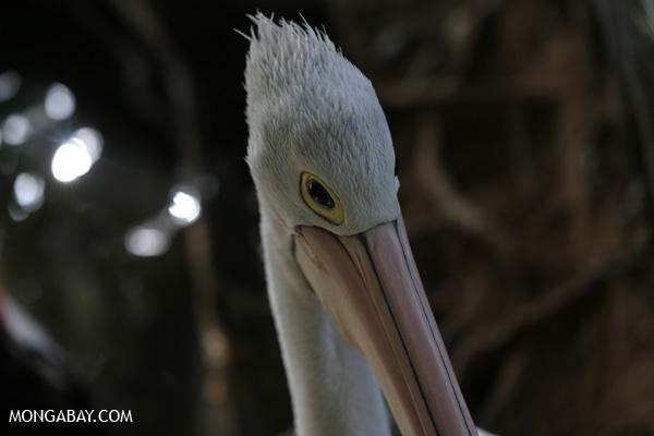 Australian pelican [australia_fnq_0739]