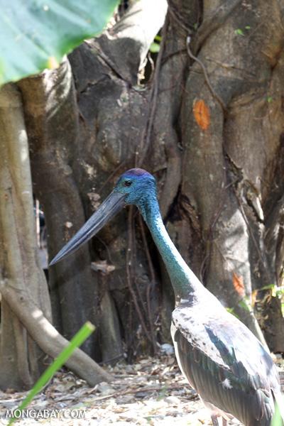 Blue stork [australia_fnq_0764]