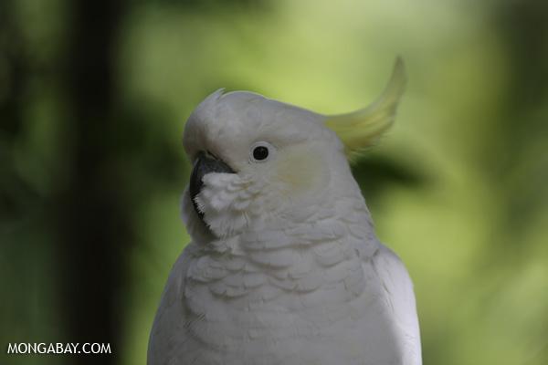 Sulphur-crested Cockatoo (Cacatua galerita) [australia_fnq_0767]