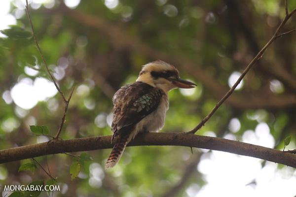 Kookaburra [australia_fnq_0773]