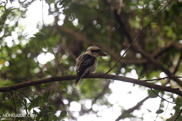 Kookaburra [australia_fnq_0774]