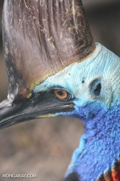 Southern Cassowary [australia_fnq_0778]