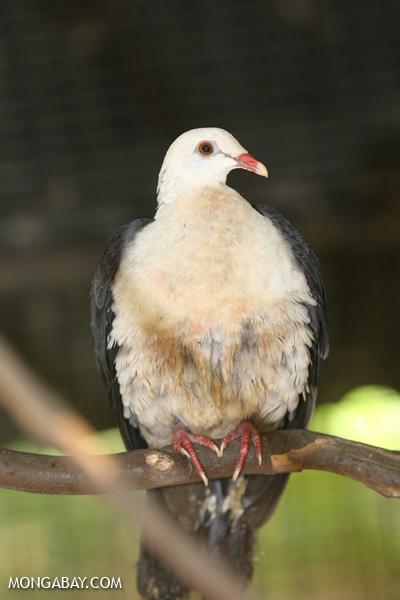 Pigeon [australia_fnq_0796]