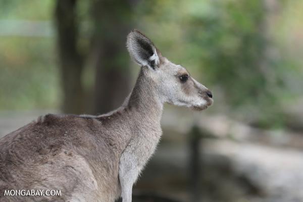 Red kangaroo [australia_fnq_0809]