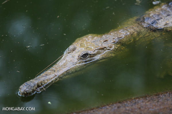 Crocodile [australia_fnq_0816]
