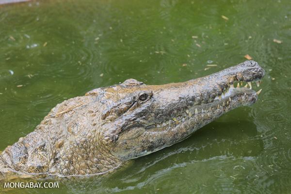 Crocodile [australia_fnq_0821]