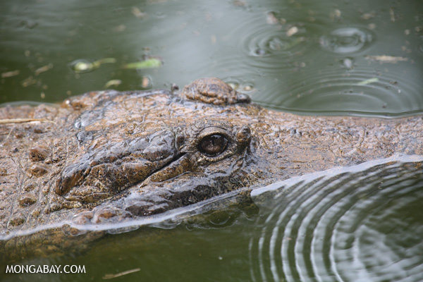 Crocodile [australia_fnq_0826]
