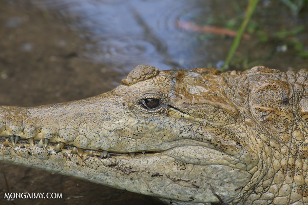 Crocodile [australia_fnq_0828]