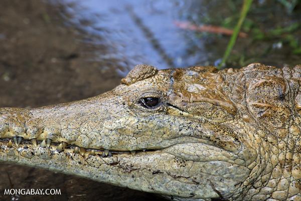 Crocodile [australia_fnq_0830]