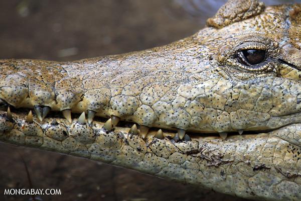 Crocodile [australia_fnq_0832]