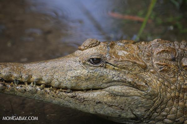 Crocodile [australia_fnq_0833]
