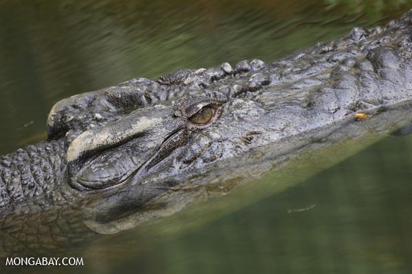 Crocodile [australia_fnq_0835]