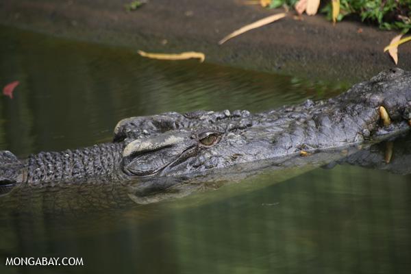 Crocodile [australia_fnq_0837]