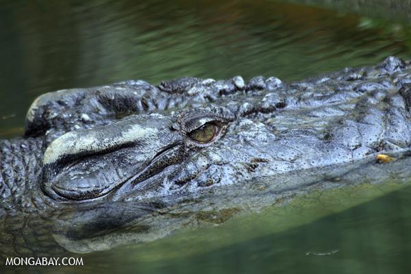 Crocodile [australia_fnq_0838]