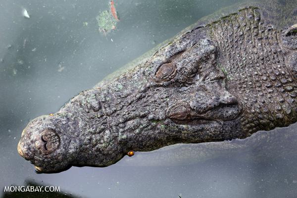Crocodile [australia_fnq_0843]