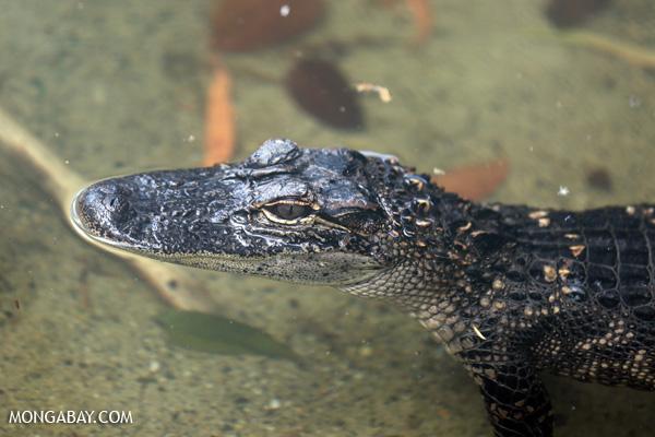 Crocodile [australia_fnq_0852]
