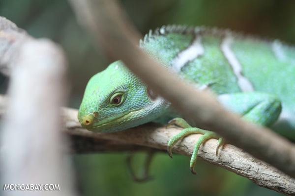 Fiji banded iguana [australia_fnq_0869]