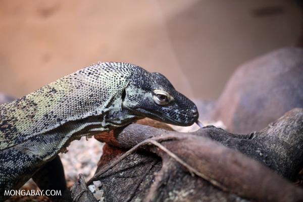 Lizard [australia_fnq_0870]