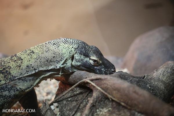 Lizard [australia_fnq_0871]