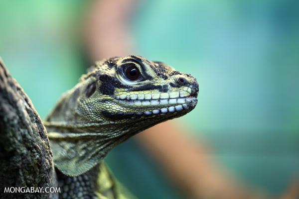 Lizard [australia_fnq_0878]