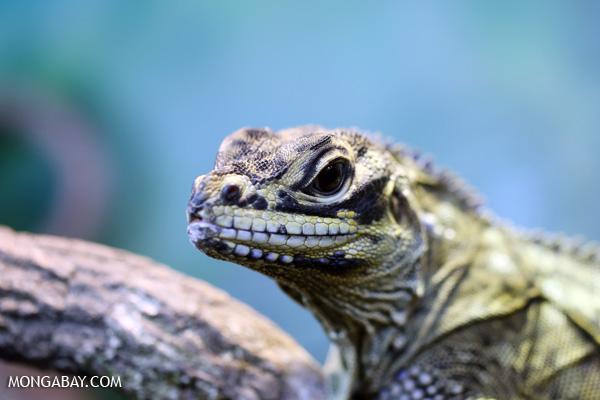 Lizard [australia_fnq_0884]