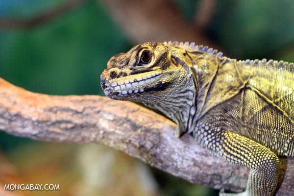 Lizard [australia_fnq_0888]