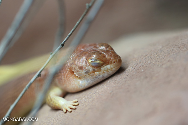 Lizard [australia_fnq_0890]