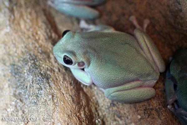 Cave-dwelling tree frog (Litoria cavernicola)