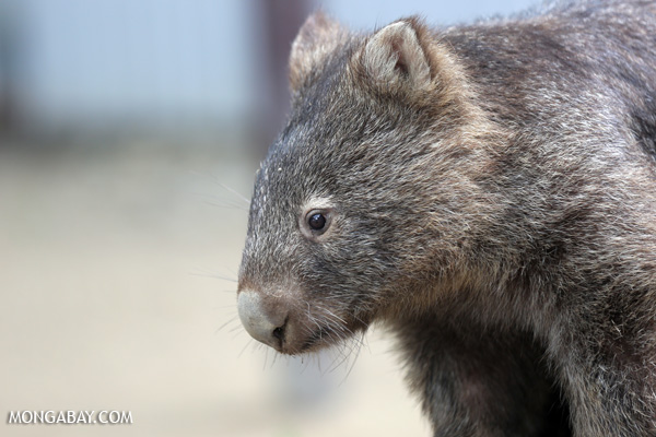 Wombat [australia_fnq_0926]