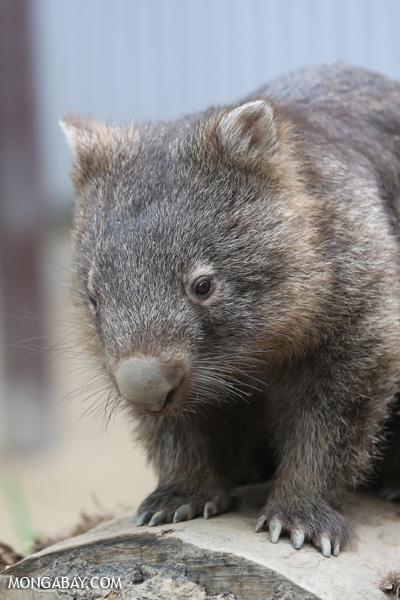 Wombat [australia_fnq_0929]