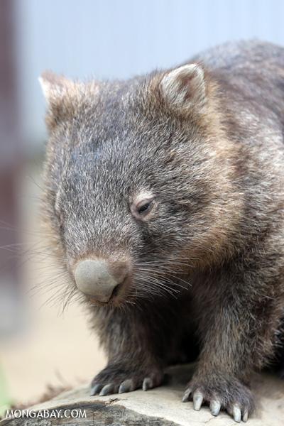 Wombat [australia_fnq_0931]