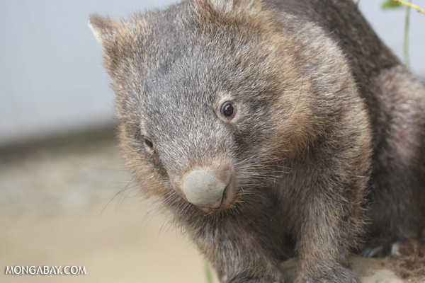 Wombat [australia_fnq_0938]