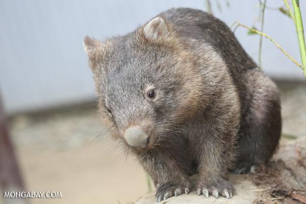 Wombat [australia_fnq_0941]