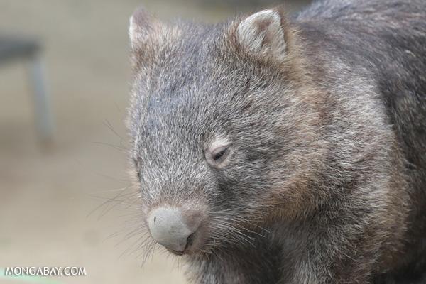 Wombat [australia_fnq_0946]