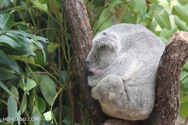 Koala [australia_fnq_0947]