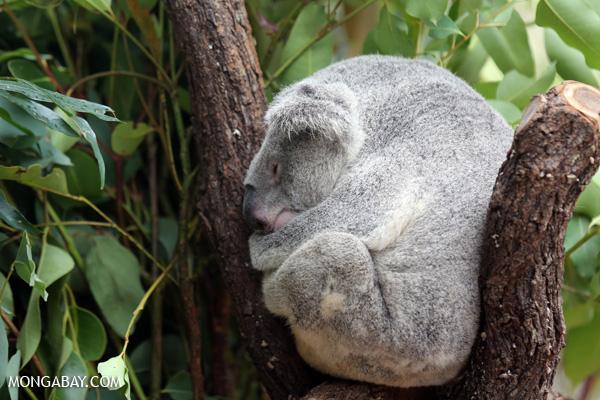 Koala [australia_fnq_0948]