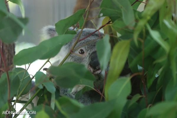 Koala [australia_fnq_0951]
