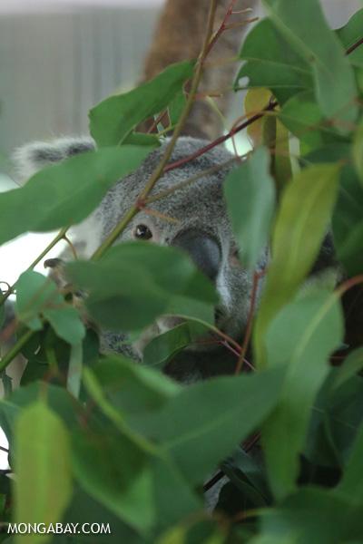 Koala [australia_fnq_0953]