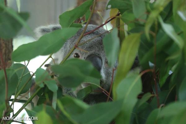 Koala [australia_fnq_0954]