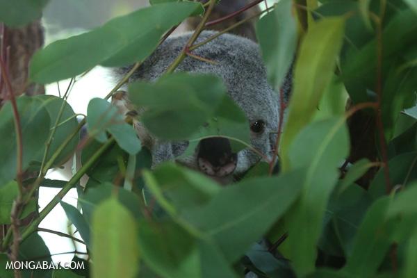 Koala [australia_fnq_0957]
