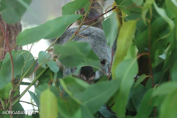 Koala [australia_fnq_0958]