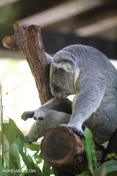 Koala [australia_fnq_0963]