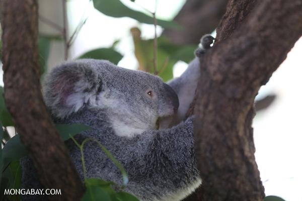 Koala [australia_fnq_0964]