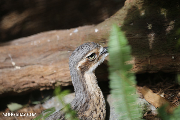 Bush Thick-knee (Burhinus grallarius)
