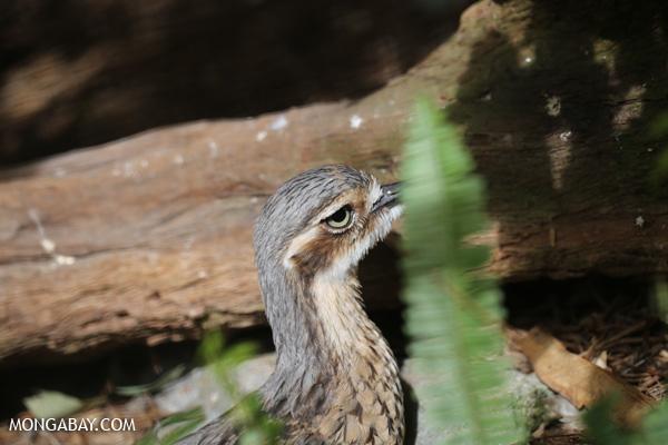Bush Thick-knee (Burhinus grallarius) [australia_fnq_0974]