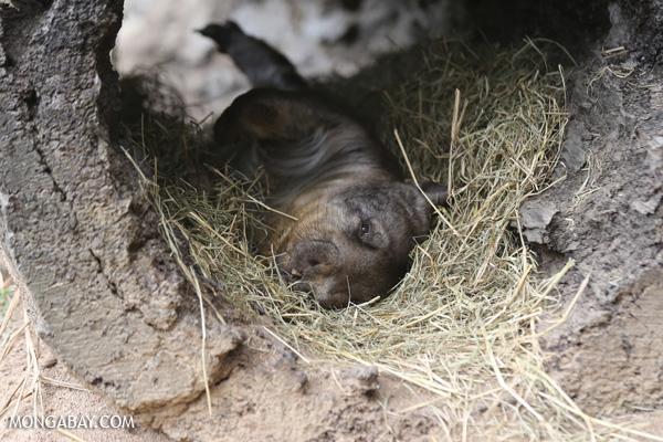 Wombat [australia_fnq_0982]